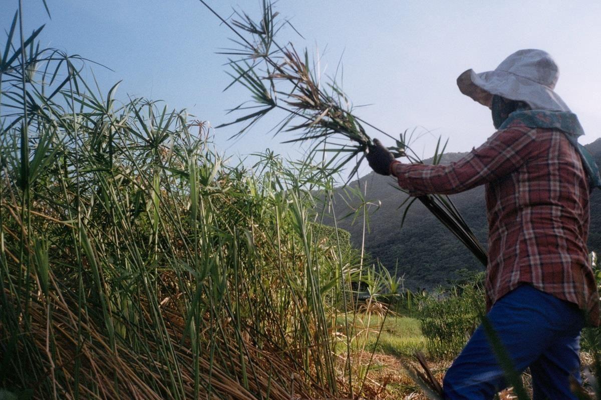 阿美族婦女在採集輪傘草的實際狀況。