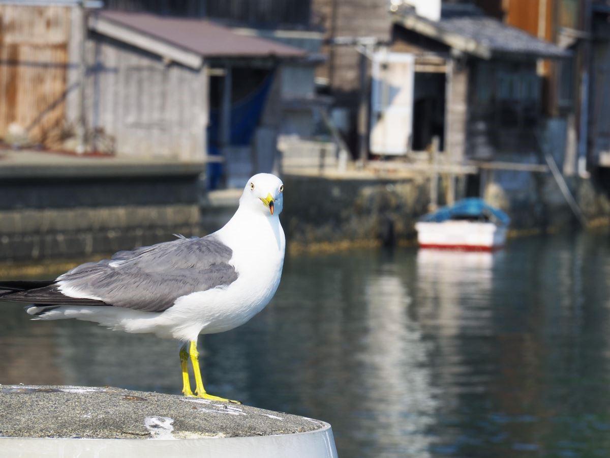 海鳥是伊根之旅最親切的旅伴,非常受到旅行者的喜愛。